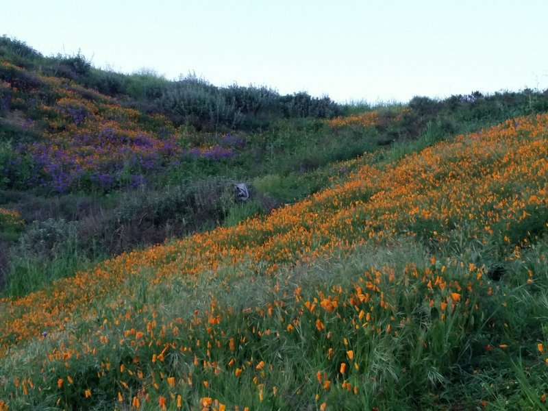 Orange poppies bed down for the night along the South Ridge Trail.