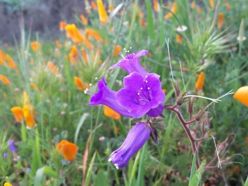 A purple bell blossoms along the South Ridge Trail.