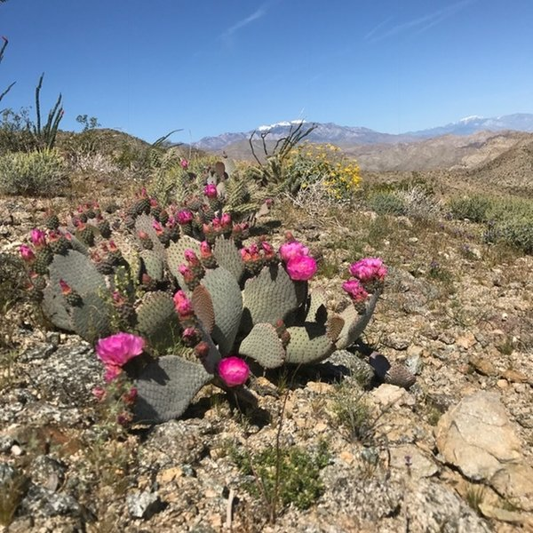 The desert cacti bloom brightly after a wet winter in March 2017.