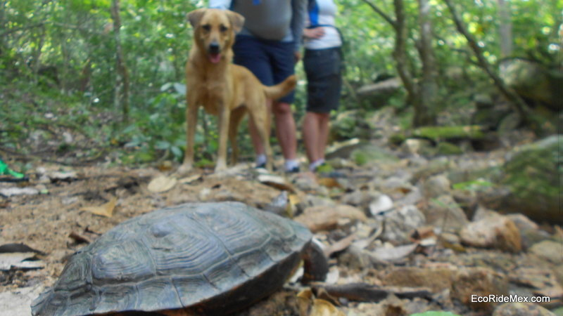A small turtle makes his away across the trail.