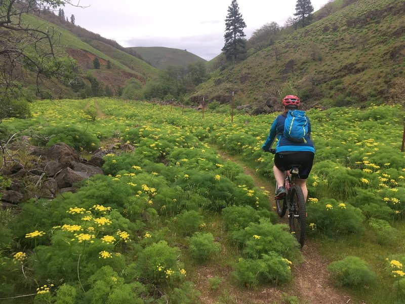 Riding through a dense field of desert parsley on the Klickitat Trail: Swale Canyon Segment.