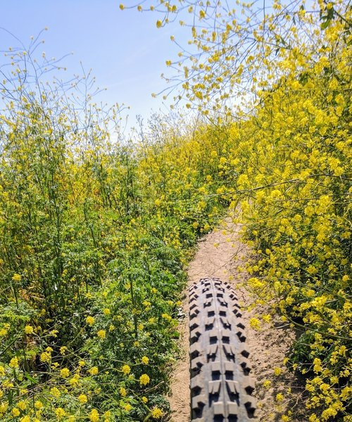 Winding over a narrow ribbon of singletrack decorated with some California Superbloom.