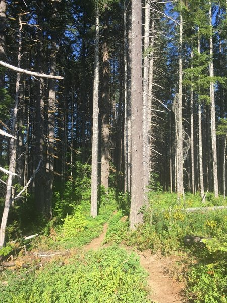 The forest opens up into some older growth as it winds back down to the road.