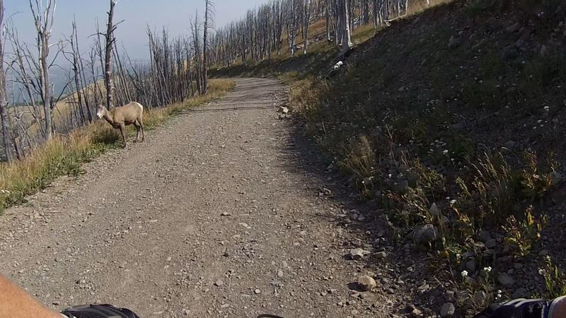 Female bighorn sheep checking things out on the Mount Washburn/Chittenden Road.