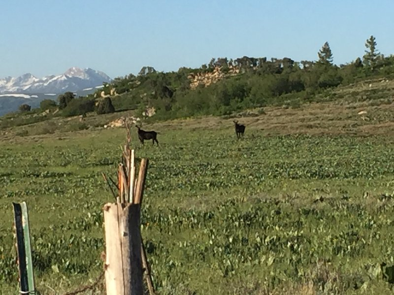 Two moose keeping an eye on the bikers.
