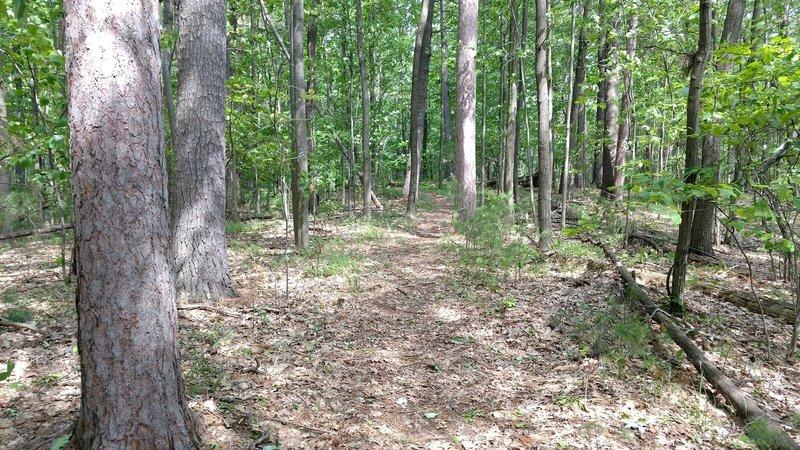 Big Pines along Ogemaw Hills Pathway.