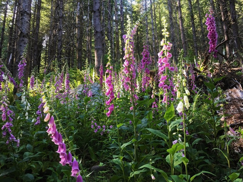 A swatch of Fox Gloves adds color along the Tiger Mountain Connector in late June.