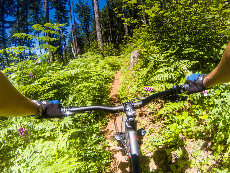 Classic Pacific Northwest singletrack on the August Mountain Trail.