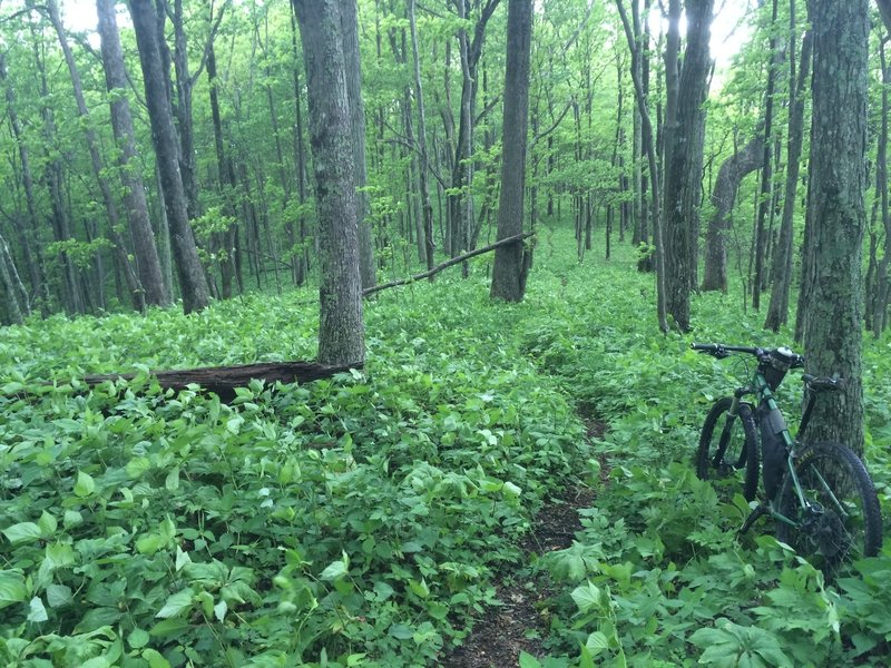 The narrow singletrack along the ridge is hemmed in with thick growth during the descent.