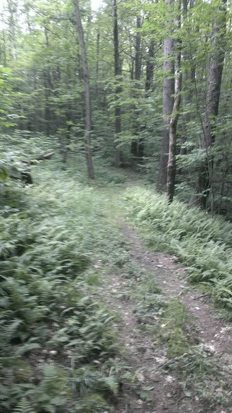More fern singletracks