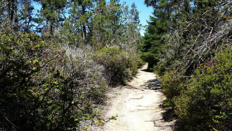 North Trail through the Pygmy Forest