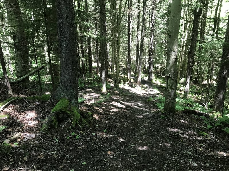 Entering the Spruce canopy on Shavers Lake Trail.