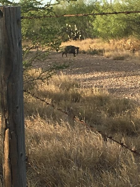Watch out for javelinas!