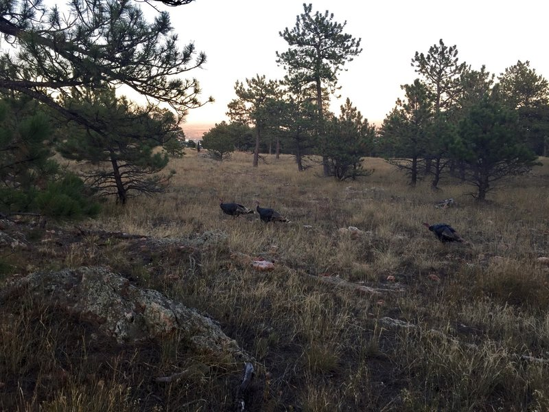Wild turkeys roaming along the Ponderosa Trail
