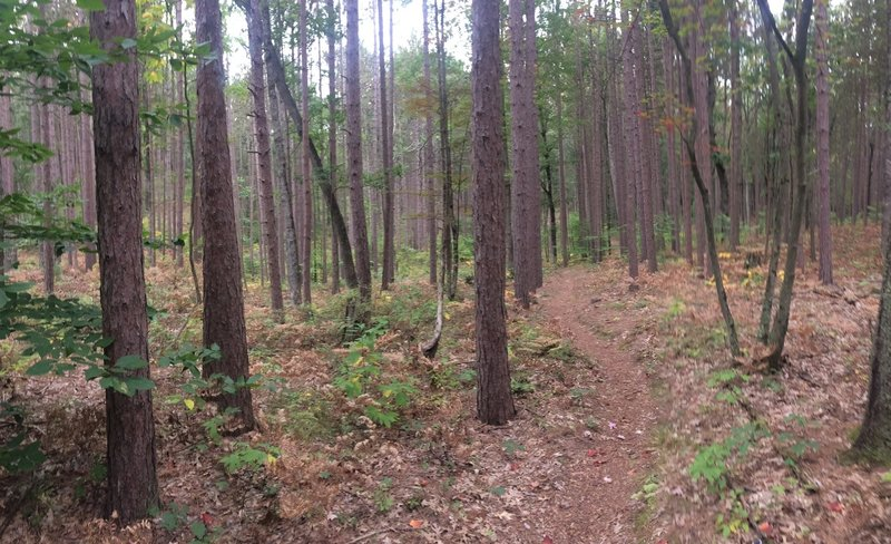In spots, the forest turns to pine.