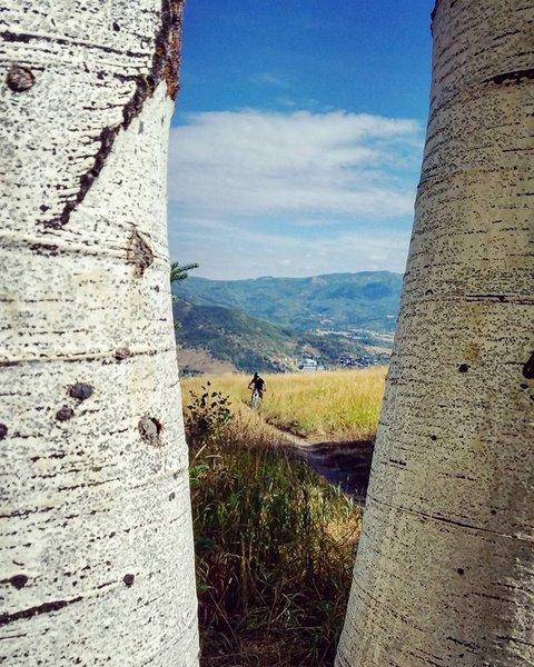Aspens along MGM trail
