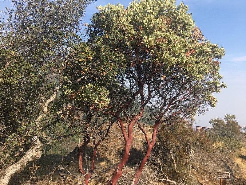 Manzanita along the Mount Umunhum Trail