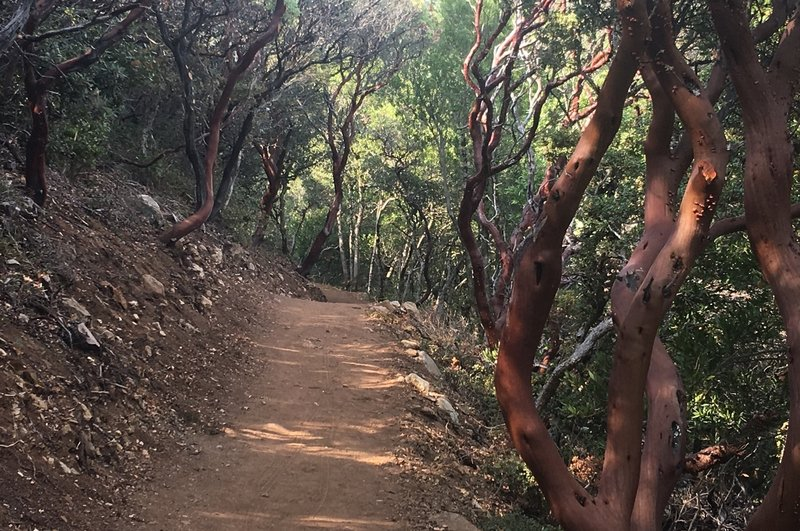 Madrone trees along the Mount Umunhum Trail.