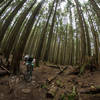 Tall trees surround riders on the downhill.