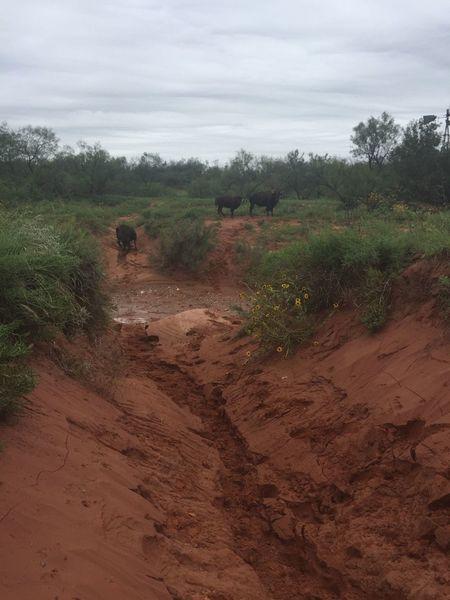 Buffalo on the trail.