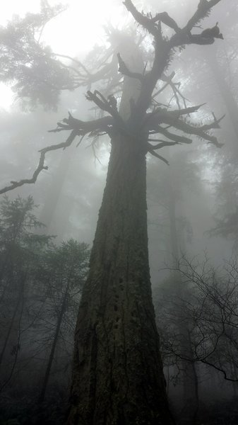 Giant tree in the fog.