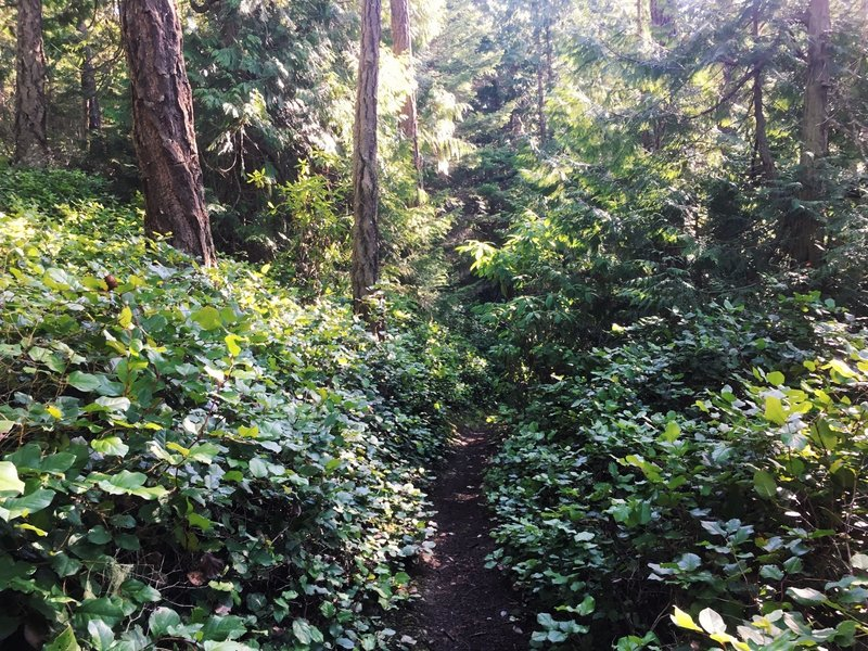 A nice patch of salal along the Pigeon Ridge trail.