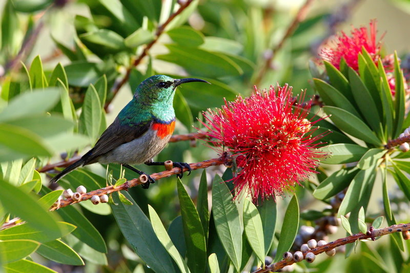 Southern double-collared sunbird.