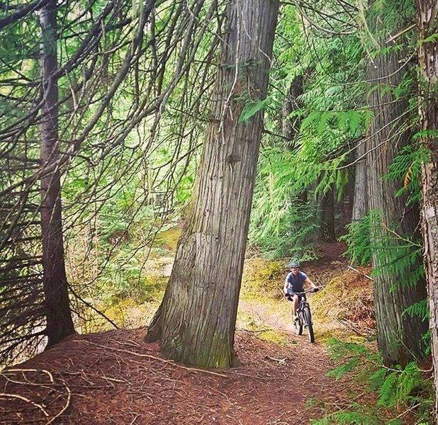 Old growth cedar whoopty-doos along river edge.
