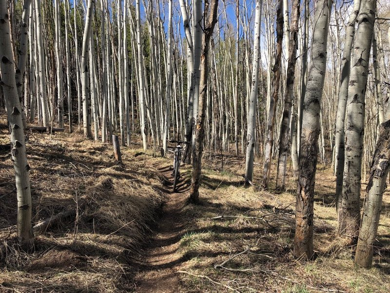 A small aspen grove at the beginning of Chaco's TenFoot Loop