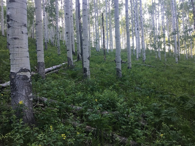 Mature Aspen forest on the descent to West Sopris Creek.