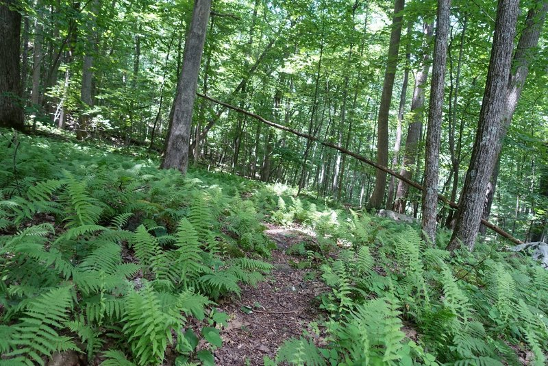 fern forest and stream crossings at the bottom