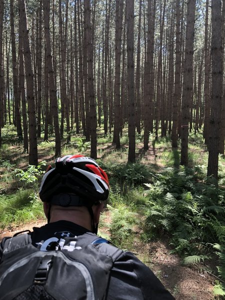 Through the pine trees on the Nicolet Roche Trail on our tandem 6 24 2018