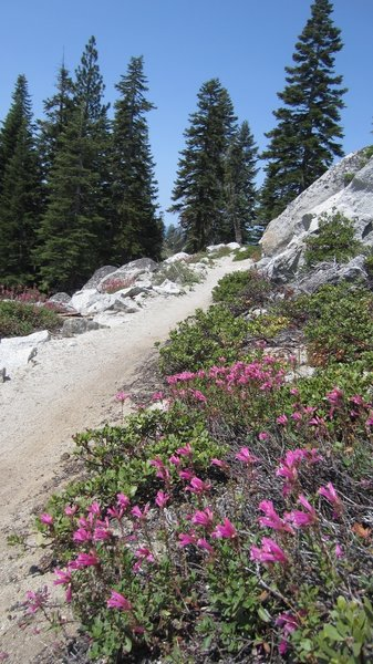 Some nice Penstemon on the Incline Flume