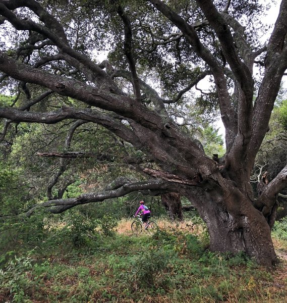 Oaks and views and a little singletrack in Wilder Ranch State Park