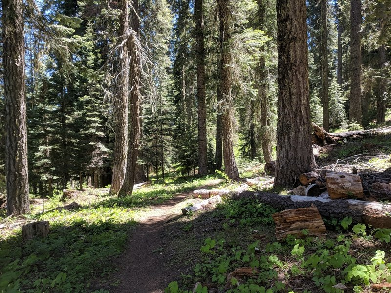 Ride through old growth, Sturgis Fork trail.
