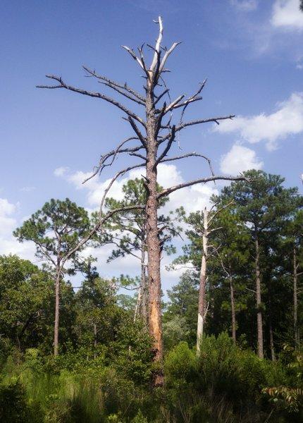 Tall Pine, Woodpecker habitat