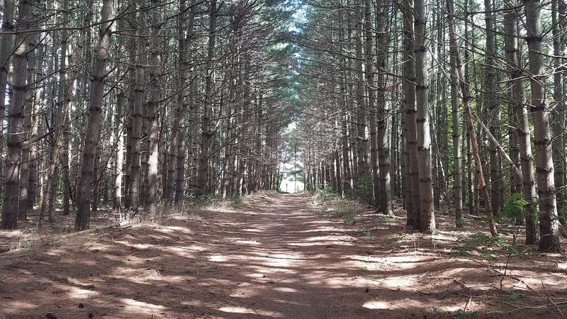 Striking path through the pines. Photo doesn't do justice.