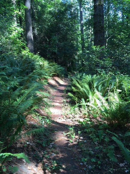 A ride through old growth forest lined with ferns.