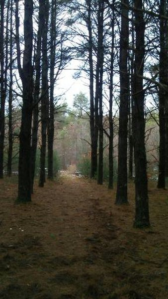 Utterly breathtaking view of rows upon rows of the Jack Pines in the Allegan State Game Area.