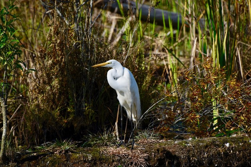 One of many Herons and Egrets that live in the preserve