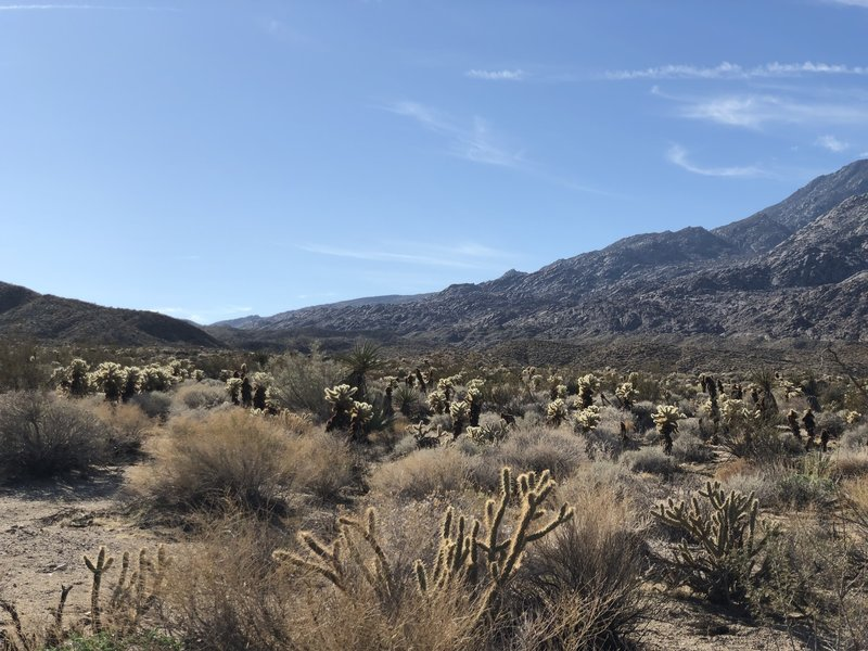Lots of Cholla in da house! View from the wash.