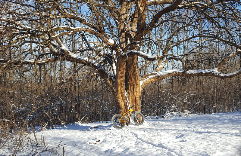 Winter Fatbiking - stopped to take picture at huge Osage Orange Tree