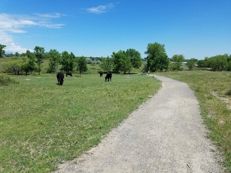 Open range cattle, moooo.