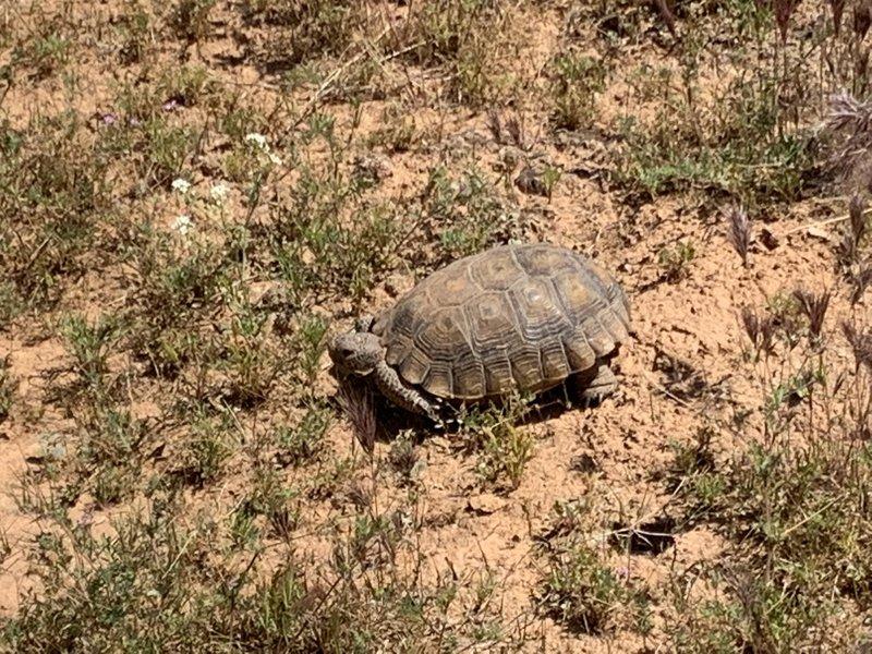 Desert tortoise along the trail