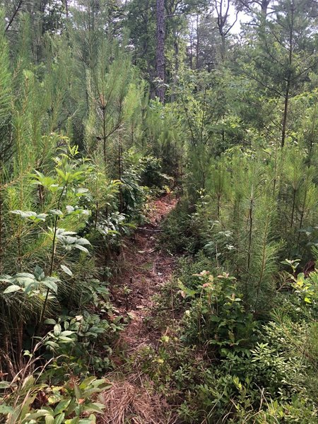 Narrow trail. Watch out for stobs until they rot away.