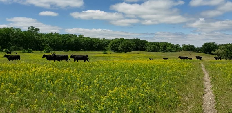 Flowering pastures and cattle along the North Country Trail