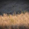 Hawk near Ridge top trail