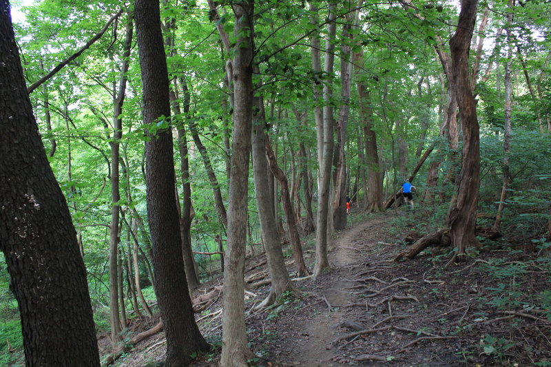 Singletrack zig zags between the trees on an off-camber, rooty section next to the fairway. Can be slick at times.