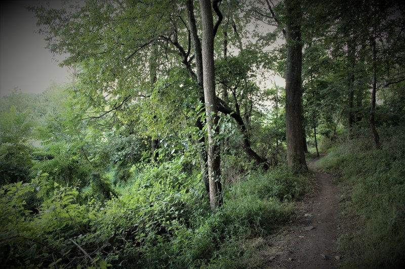 Eventually the singletrack exits the tree tunnel and proceeds towards a reclaiming meadow. Hillside is not as steep and the sight lines tend to be best from fall-spring.