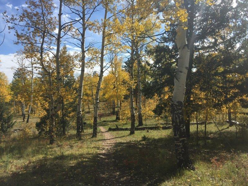 Many, many aspens along this beautiful trail!